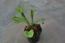 """New listing Rare Platycerium Ridleyi In 4"""" Pot - Staghorn Us Grown"""