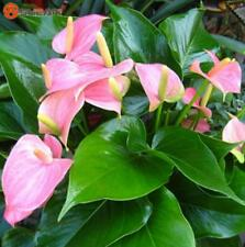 Rare Pink Anthurium Seeds Indoor Potted Hydroponic Flowers Plant Seeds 100pcs