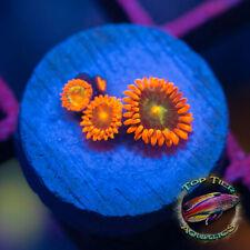 New listing Goblins - Wysiwyg Live Coral Frag- Top Tier Aquatics