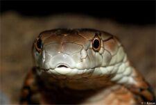New listing King Cobra Emergency Venomous Bite Protocol Snakebite Treatment Snakes Reptiles