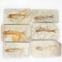 Lycoptera Davidi plate specimen Jurassic to Cretaceous Real Fish Fossil China !