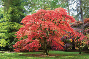 Japanese Maple (Acer palmatum) x 1 plant.