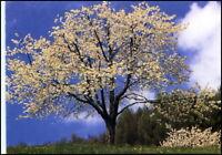 Motiv-AK BAUM BÄUME Tree Arbre Lichtung im Frühling
