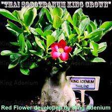 "ADENIUM THAI SOCOTRANUM  "" KING CROWN "" 10 SEEDS NEW & VERY RARE WITH RED FLOWER"