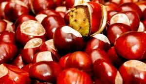 CONKERS / HORSE CHESTNUTS PRE ORDERS SPIDER REPELLENT teaching aid conker games