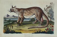 The Civet Cat Antique Print