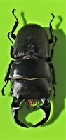Javan Black Stag Beetle Dorcus ritsemae ritsemae  Male FAST FROM USA