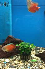 New listing Exotic Live Fresh Water Aquatic Plant Anubias Nana Petite Potted P207
