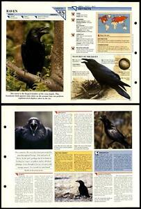 Raven #51 Birds Wildlife Fact File Fold-Out Card