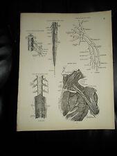 NERVOUS SYSTEM ASSORTD #87 Rare Old Print From Descriptive Atlas of Anatomy 1880