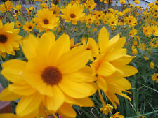 6 Pflanzen, Rhizome Staudensonnenblume - Helianthus - winterhart gelb blühend