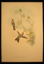 Original Gould Hummingbird Red Capped Thorn Bill Gold Leaf iridescent excellent