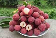 Lychee Tree Edible Fruit Plant Exotic Tropical Bonsai