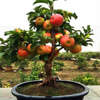 30 Apple Tree Seeds Bonsai Rare Dwarf Plants Sweet Fruit Living for Garden Home
