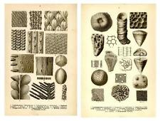 1910 FRAAS PREHISTORIC FOSSILS LITHOGRAPHS stony corals, scale trees, wood, ...