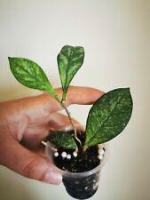 Hoya crassipetiolata splash   rare  rooted house plant