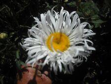 Shasta Daisy  Gem  x 1 Plant