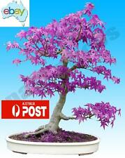 30PCS RARE PURPLE GHOST MAPLE BONSAI / TREE SEEDS