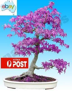 30PCS RARE PURPLE GHOST MAPLE BONSAI / TREE SEEDS