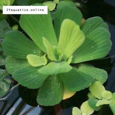 2X Large ( Medium) Water lettuce floating aquarium plant / Pond.
