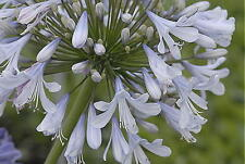 Agapanthus Blue Ice   cool blue flowers mature garden perennial plant