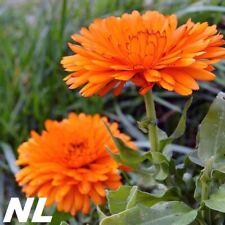 100Pcs Calendula Flowers Seeds 8 Species Rare Varieties Medicinal Yuvel Bondon