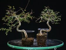 Bonsai Tree Chinese Elm Cep-124
