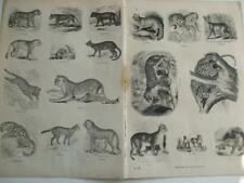 c1850s ENGRAVINGS PUMA CHEETAH OUNCE LEOPARD TIGER JAGUAR EGYPTIAN CAT PANTHER