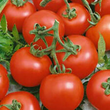 """Early Doll Tomato (30 Seed's) """"FREE SHIPPING"""" <Non-GMO>"""