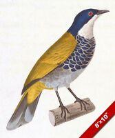 PYCNONOTUS SQUAMATUS FINE ART BIRD AVIARY DRAWING REAL CANVAS GICLEE 8X10PRINT