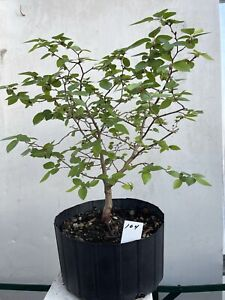 Korean Hornbeam pre Bonsai Tree