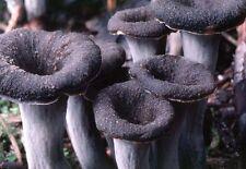 Craterellus cornucopioides Mushroom / Mycelium Spores Spawn Dried Seeds