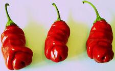 Penis Chilli Red 10 Samen (Peter Pepper) Fruits, like a Penis look <<<<