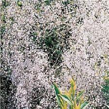 Fiore-GYPSOPHILA-Fiocco di Neve - 300 semi