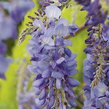 Chinese Wisteria Sinensis Papilionaceae Vigorous Garden Climber Plant - 3L pot