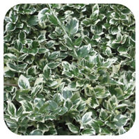 HEDGING 6 X Euonymus Fortunei Emerald Gaiety Shrub Large plug plant
