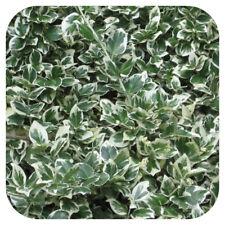 HEDGING 6 X Euonymus Fortunei Emerald Gaiety Shrub Large plug plant