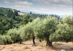 5 Olive Tree Seeds - OLEA EUROPEA - Five Seeds