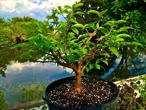 "Bonsai Style Pre-bonsai Bougainvillea Tree 8 Years , 1+"" Trunk  indoor /Outdoor"