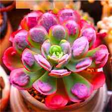 Fd2228 Succulents Seeds Mini Potted Flower Organic Red Palm ~1 Bag 50 Seeds~