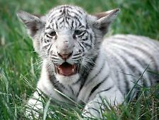White Tiger Cub Large A3 Photo Picture Print 16x11 Poster Ready to Frame New