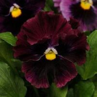 50 Pansy Seeds Frizzle Sizzle Burgundy  FLOWER SEEDS