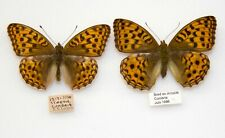 HIGH BROWN FRITILLARY - A VERY NICE PAIR