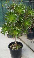 Aeonium Plant Large in Pot