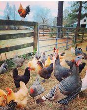 12+extras! Marans,variety colors,barnyard mix hatching chicken eggs.Npip Ga farm