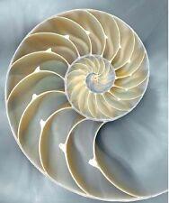 Caroline Kelly: Nautilus in Blue I Fertig-Bild 50x60 Wandbild Muscheln maritim