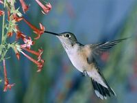 PHOTOGRAPHY NATURE ANIMAL HUMMING BIRD FEEDING CLOSE UP POSTER PRINT BMP10645