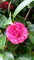 """10 Fresh Cuttings of Camellia Japonica - Unrooted Shrubs Cuttings""""Winters Joy"""""""