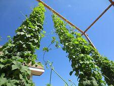 2 Oz Organic Hops Raw Hops Beer Brewing Chinook
