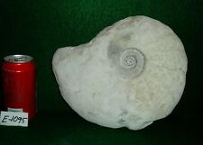 "Large Size, Rare 10-1/8"" Texas Fossil Ammonite ,Dinosaur Age, Cretaceous-E1095"